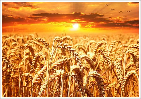 sd700_wheat-field